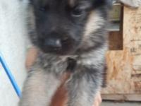 4 week old 8 German Shepherd puppies for sale full