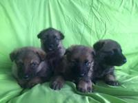 10 CKC German Shepherd Puppies for Sale! Only 6