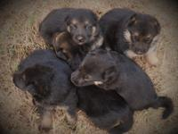 hi I have 8 perfect German Shepherd Dog puppy they ware