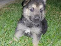 I have three FULL BLOODED German Shepherd puppies.