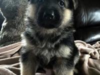 I have 7 German Shepherd pups born on Monday May 18,