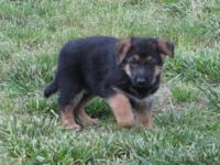 Full blooded german shepherd new puppies develop