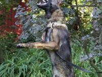German Shepherd Imported World Championship Bloodlines