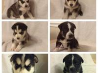We have two litters of puppies this winter 2013 just in