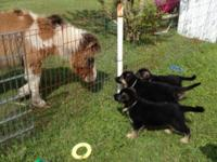 Puppies For Sale German Shepherd Puppies for Sale from