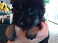 2 german shepherd puppies left. One male and one