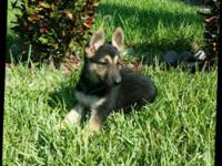 MALES AND FEMALES , 8 WEEKS WITH EXCELLENT PEDIGREE,