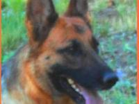 EXCEPTIONAL German line  German Shepherds. Strong,