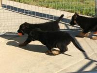 2 female dogs HIGH ROUND DRIVE PUPS !!! Sire is a black