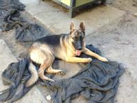 I have 5 German Shepherd puppies for sale. Of the 5,