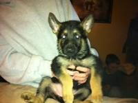We have a trash of AKC registered German Shepherd young
