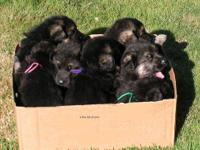 Our AKC German Shepherd puppies are lovingly home /
