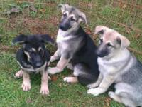 GERMAN SHEPHERD PUPPIES WITH EXTREMELY RARE & EXPENSIVE