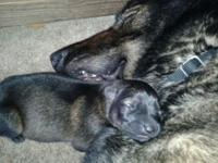 GERMAN SHEPHERD PUPPIES DDR LINES VERY STRONG WORKING