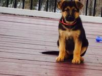 Lady is a beautiful, 11 week old German Shepherd puppy.