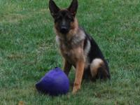We have one male purebred German Shepherd puppy for