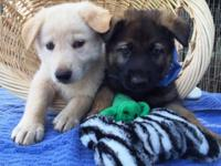 German Shepherd Puppies - AKC registered, shots and