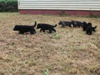 I have one male german shepherd puppy available,