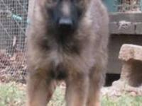 1 Sable FEMALE Left!!!! Beautiful AKC German Shepherd