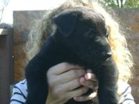 FEMALE AKC LEXI...Registered,With Pedigree..they are
