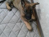 GERMAN SHEPHERD SABLE MALE FATHER IS CSZ IMPORT VERY