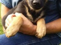 Hello i got 1 female German Shepherd puppy for sale she