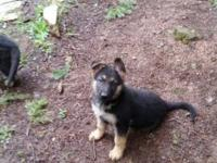 Definitely lovable German Shepard puppy is caring and