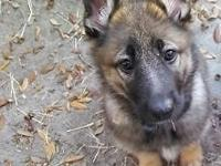 We have one beautiful sable German Shepherd puppy left.