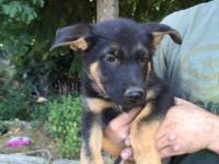 Cute German Shepherd puppy need good new home. First