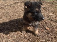 I have 3 male and 2 female german Shepherd 9 weeks old