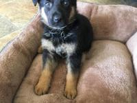 8 week old full breed German shepherd puppy. He's