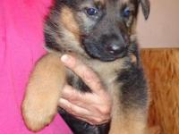 One beautiful female still available. 7 weeks old. Mom