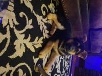 Gorgeous male 10 week old German Shepherd puppy. He's