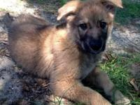 CKC German Shepherd Puppy for sale. Full blooded. Sire