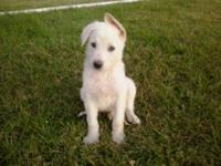 . 2 males offered, AKC, 8 weeks old. Parents are on the