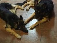 AKC German Shepherd Pups, Black and Tans. These are