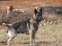 We have 3 beautiful large AKC German Shepherd pups