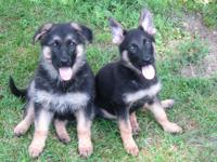 I have 4 Gorgeous German Shepherd dogs, AKC documents