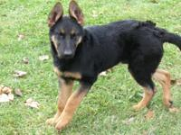 I have 3 Gorgeous German Shepherd puppies, AKC papers