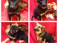 I have 7 lovable German Shepherd puppies who are