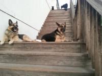 pure breed pupps german shepherd parents super smart