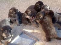 Full blooded german shepherd new puppies, they just