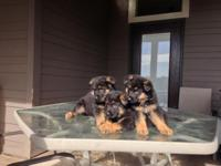 ADORABLE PUREBREED GERMAN SHEPHERD PUPPIES FOR SALE. WE