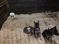 German Shepherd pups 1 male 1 female black and red 12