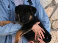 5 female pups Sire is a black and red  dog Decimus vom