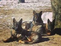 West german czeck lines. Lovely dogs. Well developed