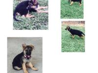 German shepherd pups 2 females left ready for they new