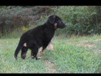 Akc registered male pups first shots and dewormed vet