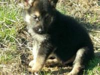 Taking deposits on our purebred GSD babies. We have 3