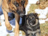 Remarkable champion line German Shepherd Puppies! These